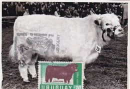 RIQUEZA AGROPECUARIA URUGUAYA - SHORTHORN, COW VACHE VACA. URUGUAY 1966 FDC MAXIMUM CARD RARE -LILHU - Cows