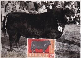 RIQUEZA AGROPECUARIA URUGUAYA - ABERDEEN ANGUS, COW VACHE VACA. URUGUAY 1966 FDC MAXIMUM CARD RARE -LILHU - Vacas