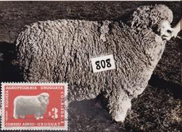 RIQUEZA AGROPECUARIA URUGUAYA - CORRIEDALE, OVEJA SHEEP MOUTON. URUGUAY 1966 FDC MAXIMUM CARD RARE -LILHU - Farm