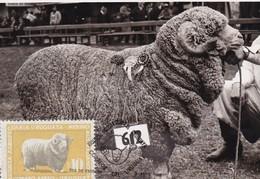 RIQUEZA AGROPECUARIA URUGUAYA - MARINO AUSTRALIANO, OVEJA SHEEP MOUTON. URUGUAY 1966 FDC MAXIMUM CARD RARE -LILHU - Ferme