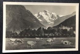 Interlaken Und Jungfrau /Kühe Auf Der Matte - BE Berne