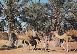 Carte Postale CP Tunisie / Palmeraie De Gabès - ANIMAL - CHAMEAU DROMADAIRE - CAMEL & Palm Tree Postcard - KAMEL - 25 - Animals