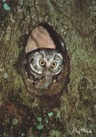 Carte Postale CP MYTHRA - ANIMAL - OISEAU - HIBOU CHOUETTE De Tengmalm - OWL Postcard - EULE Postkarte - 27 - Birds