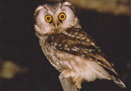 Carte Postale CP SEMPACH - ANIMAL - OISEAU - HIBOU CHOUETTE De Tengmalm - OWL BIRD Postcard - EULE - 31 - Birds