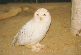 Carte Postale CP Villars - ANIMAL - OISEAU - HIBOU HARFANG DES NEIGES - SNOWY OWL BIRD Postcard - EULE - 36 - Vögel