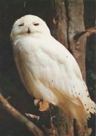 Carte Postale CP Upie - ANIMAL - OISEAU - HIBOU HARFANG DES NEIGES - SNOWY OWL BIRD Postcard - EULE - 37 - Birds