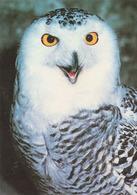 Carte Postale CP Beaucens - ANIMAL - OISEAU - HIBOU HARFANG DES NEIGES - SNOWY OWL BIRD Postcard - EULE - 40 - Vogels