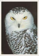 Carte Postale CP Kassel - ANIMAL - OISEAU - HIBOU HARFANG DES NEIGES - SNOWY OWL BIRD Postcard - EULE - 41 - Birds