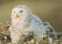 Carte Postale CP WWF - ANIMAL - OISEAU - HIBOU HARFANG DES NEIGES - SNOWY OWL BIRD Postcard - EULE - 43 - Birds