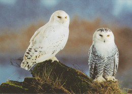Carte Postale CP WWF - ANIMAL - OISEAU - HIBOU HARFANG DES NEIGES - SNOWY OWL BIRD Postcard - EULE - 44 - Birds