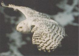 Carte Postale CP GROENLAND - ANIMAL - OISEAU - HIBOU HARFANG DES NEIGES - SNOWY OWL BIRD Postcard - EULE - 45 - Vogels
