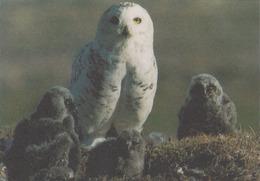 Carte Postale CP GROENLAND - ANIMAL - OISEAU - HIBOU HARFANG DES NEIGES - SNOWY OWL BIRD Postcard - EULE - 46 - Vögel