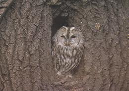 Carte Postale CP Suisse Sempach - ANIMAL - OISEAU HIBOU CHOUETTE HULOTTE - TAWNY OWL BIRD Postcard - EULE - 49 - Birds