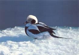 Greenland Gronland Groenland Kobenbavn Kalaallit Allakkeriviat Foto Frank Wille Eend Duck Bird   Barry 4356 - Groenland