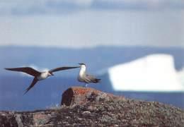Greenland Gronland Groenland Kobenbavn Kalaallit Allakkeriviat Foto Frank Wille Bird Papikkaaq Lille  Kjove  Barry 4360 - Groenland