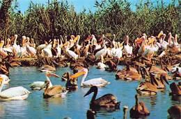Roumania   Carte Postala Delta Dunarii  Pelicani Pelicans      Barry 4402 - Roumanie