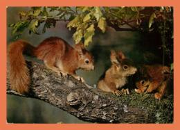 A682 / 323 Ecureuil - Animals