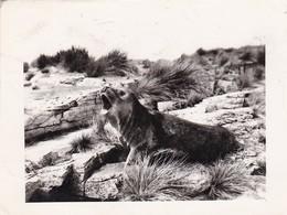 LOBO MARINO SOBRE ROCAS - PATAGONIA ARGENTINA. CIRCA 1950's. SEA LION, LION MARIN. PHOTO FOTO -LILHU - Fotos
