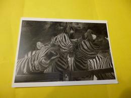 Photos De Zebres   Foto Kunze  ' Neuve ) - Zebras