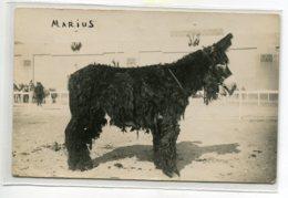 """ANES Belle CARTE PHOTO Ane """" Marius"""" ? Stud Book Mulassier Ane Du Poitou  - Concours Exposition   D01  2020 - Donkeys"""