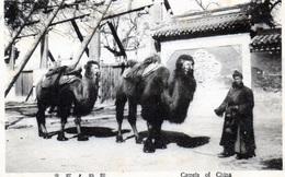 Camels Of China - Cina