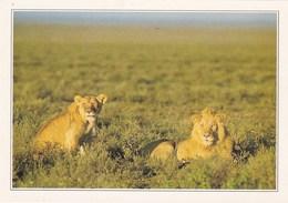 KENYA LIONS DANS LE MARC DE MAISAI MARA (dil437) - Kenya