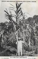 Martinique )  Effet Des Engrais Chimiques Sur La Canne à Sucre  - Jardin DESCLIEUX - Fort De France