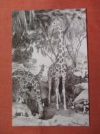 Giraffe & Grant Gazelle     Ref 3831 - Giraffe