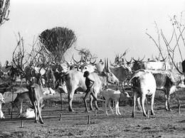 Photo Soudan  Au Crépuscule, Les Dinka Rassemblent Leurs Troupeaux Photo Vivant Univers. - Afrika