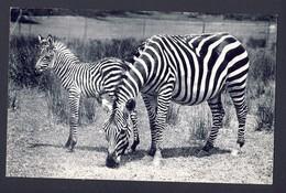 Grant's Zebra And Foal New York Zoological Park (Bronx Zoo) USA - Cebras