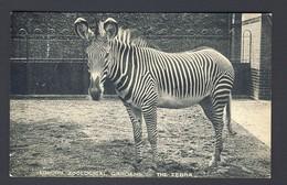 Zebra - London Zoological Gardens - Zoo - Cebras