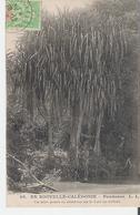 NOUVELLE CALEDONIE. CPA Voyagée En 1905 Pandanus - Nouvelle Calédonie