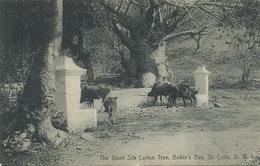 St Croix  Danish West Indies The Giant Silk Tree , Butler's Bay    Edit Lightbourn's . - Vierges (Iles), Amér.