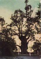 Lithuania, Zarasai 1965, Die Stelmmuže-Eiche, Naturdenkmal, Ist Der älteste Baum In Litauen Und Der 3.in Europa, Unused - Litauen