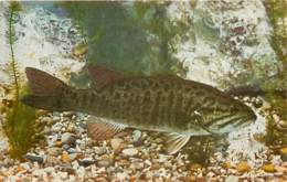 Animaux - Poissons - Etats Unis - John G. Sheed Aquarium Of Chicago - Smallmouth Black Bass ( Micropterus Dolomieu ) - C - Pescados Y Crustáceos