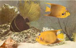Animaux - Poissons - Etats Unis - John G. Sheed Aquarium Of Chicago - French Angelfish ( Pomacanthus Paru ) - Voir Scans - Pescados Y Crustáceos