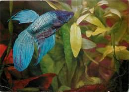 Animaux - Poissons - Kampffisch. Botta Splendens - Voir Scans Recto-Verso - Pescados Y Crustáceos