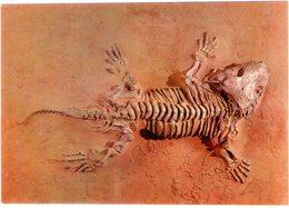 Seymouria Baylorensis Permiano. Museo Civico Storia Naturale Milano. NV. - Animals