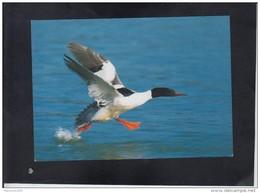MERGUS MERGANSER ** - Oiseaux