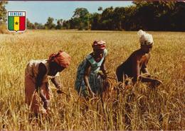 Senegal Culture Du Riz En Casamance Femmes Aux Seins NUS Nu Afrique Ethnique Ethnic Africa Naked Etnisch Naakt - Senegal