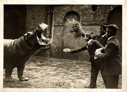 1916 NIJLPAARD HIPPOPOTAMO IN THE ZOO  21 *16CM Fonds Victor FORBIN 1864-1947 - Fotos