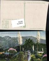 645764,California Yucca In Bloom - Ohne Zuordnung