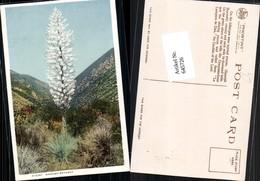645726,Spanish Bayonet Yellowstone Park - Ohne Zuordnung