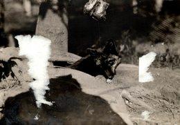 DAMAGE SEE SCAN WILHAM WHITELEY RENARD RENARDS FOX VOS ZORRO  16*11CM Fonds Victor FORBIN 1864-1947 - Photos