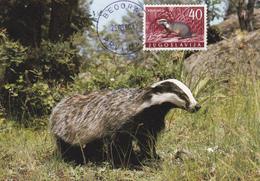 Yugoslavia, Animals, Badger, Maksimum Carte - Ours