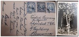 O) 1915 CIRCA - ECUADOR, MORENO 10c, ROCA 1c, PLANT OF CACAO - THEOBROMA CACAO, TO GERMANY, XF - Ecuador