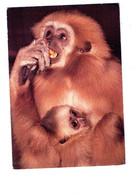Cpm -  Comité Nat Enfance - Gibbon Aux Mains Blanches  - Singe Allaite Bébé - Typo Offset Don Bosco - Scimmie