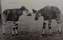 Okapi Du Congo - Congo Belge - Autres