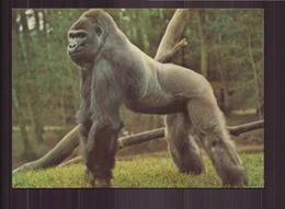 GORILLE - Scimmie