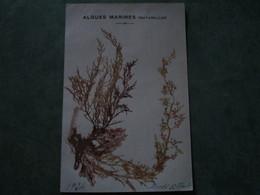 Algues Marines (Naturelles) - Botanik